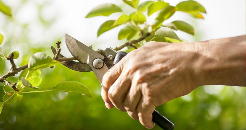 Növényvédelem metszes
